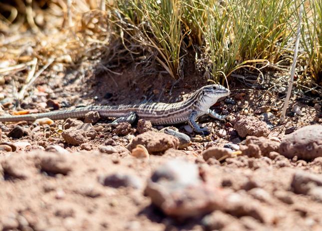 New Mexico shiptail lizard