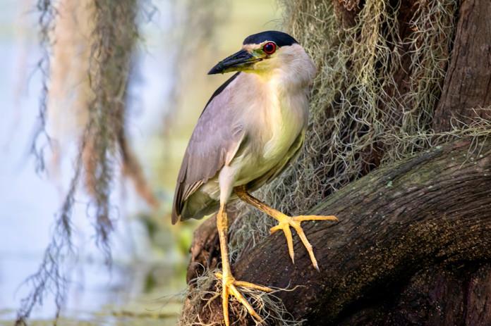 Black-crowned night heron, Lake Maritn LA