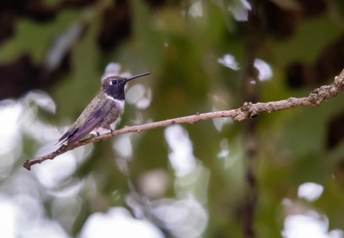 Black-chinned hummingbird, San Saba, TX