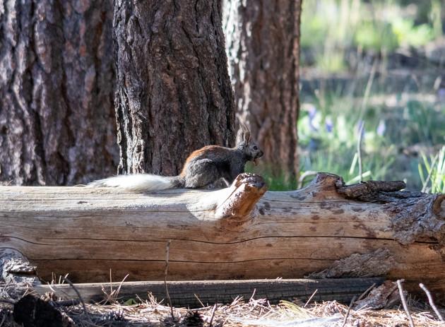 Kaibab squirrel, North Rim