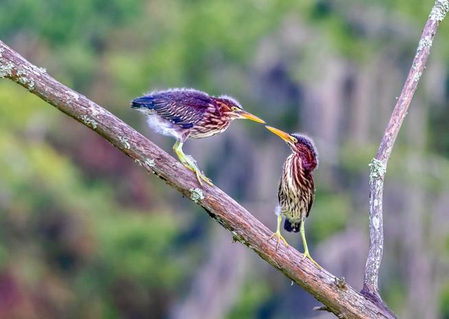 Green herons, Lake Maritn, LA