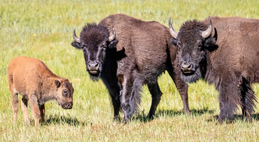 Bison, North Rim