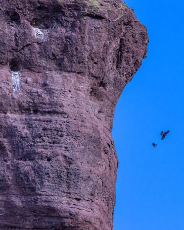 Peregrine falcon, Camelback Mountain 6