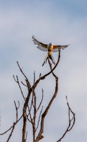 Scissor-tailed flycatcher, Coleman, TX