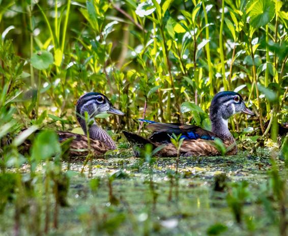 Wood duck chicks, Lake Martin, LA