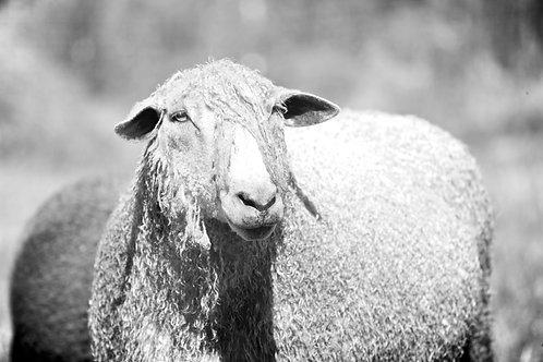 100% Pure Wool