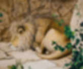 LION, SLEEPING LION, ROCKS, AFRICAN CAT, ivy