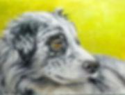 DOG, HURDING DOG, BLACK AND WHITE DOG, CATLE DOG, GREY AND WHITE DOG, sheep dog