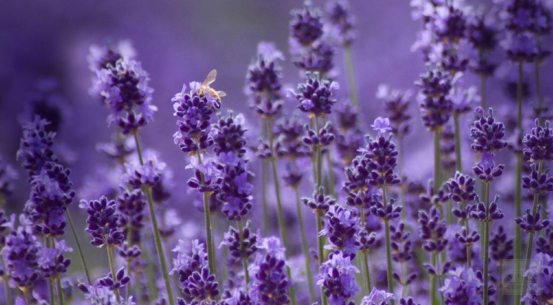 c-304-lavender.jpg