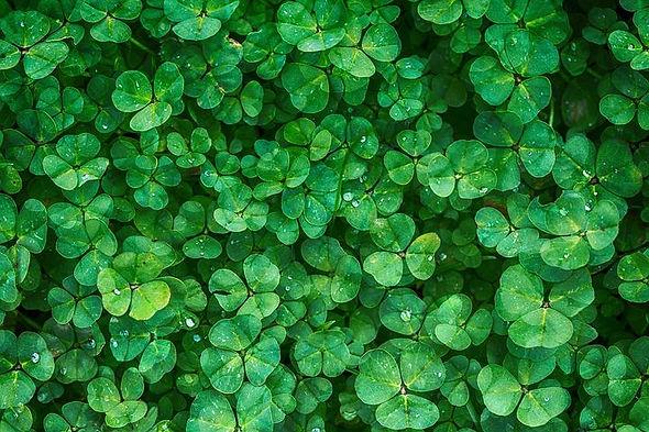 clover-1225988__480.jpg