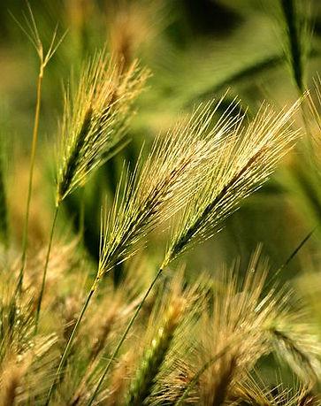 foxtail-barley-4334497__480.jpg