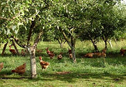 poules-vergers.jpg