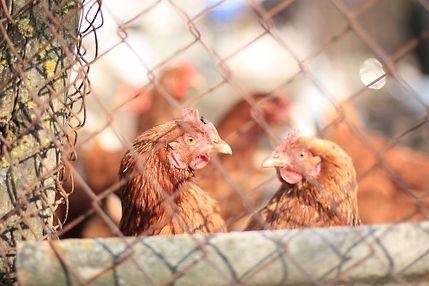 chickens-5223316__480.jpg