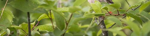 common-rosefinch-4834076_1920_edited.jpg