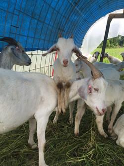 Kiko Goats