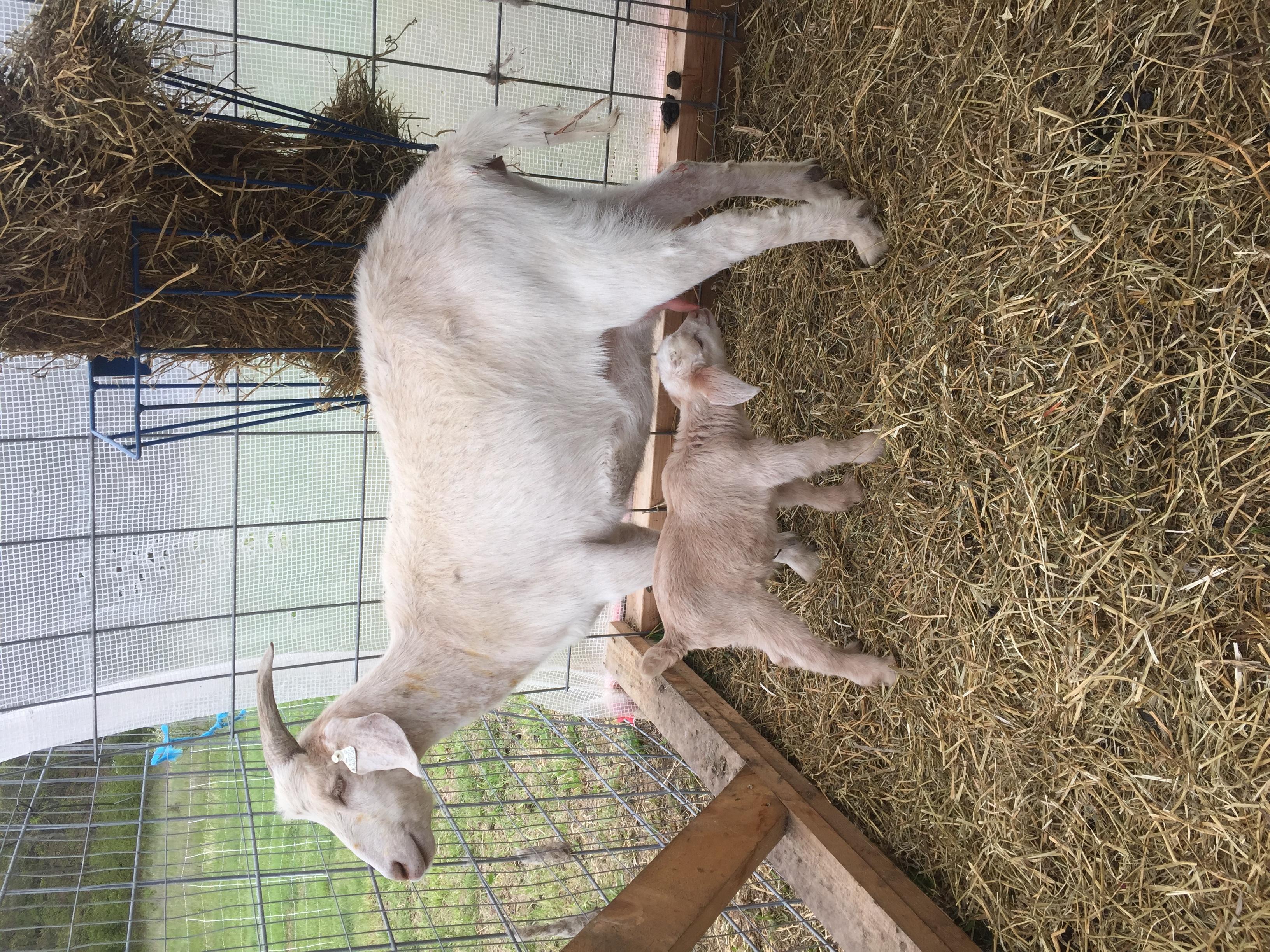 Kiko Goat