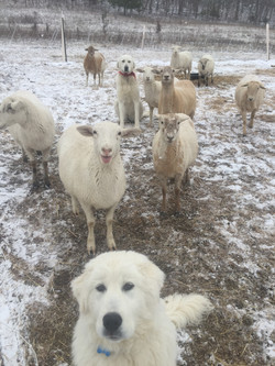 Aster with our Katahdin Sheep