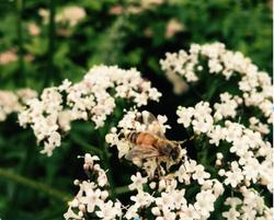 Treatment Free Honey Bee