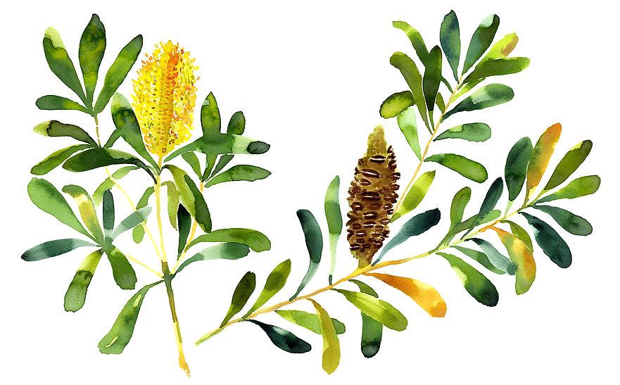 Banksia_Watercolour_Tutorial.jpg