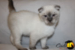 Munchkin Breeder, Munchkin Breeder Canada, Munchkin Kittens, Munchkin Cat, TICA, CFF, Short Legged Kitten