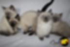 Scottish Kilt Breeder, Scottish Kilt Breeder Canada, Scottish Kilt Kitten, Gaelic Fold Breeder, Gaelic Fold Breeder Canada, Gaelic Fold Kitten, Munchkin Breeder, Munchkin Breeder Canada, Munchkin Kittens, Munchkin Cat, TICA, CFF, Short Legged Kitten