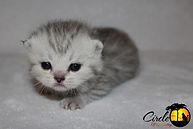 Scottish Kilt Breeder, Scottish Kilt Breeder Canada, Scottish Kilt Kitten, Gaelic Fold Breeder, Gaelic Fold Breeder Canada, Gaelic Fold Kitten, Munchkin Breeder, Munchkin Breeder Canada, Munchkin Kittens, Munchkin Cat, TICA, CFF, Short Legged Kitten