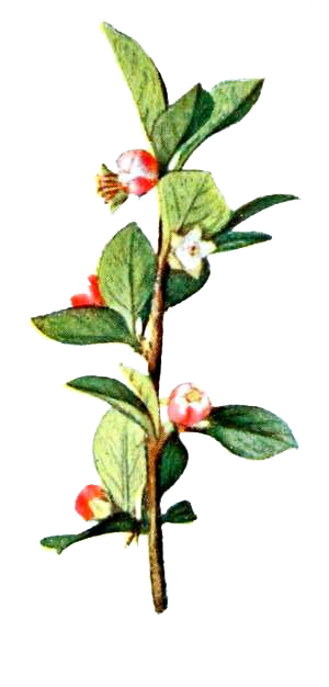 Illustated Branch with Flowers