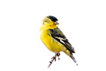 Male Lesser Goldfinch (Spinus psaltria)