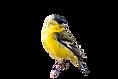 Male Lesser Goldfinch (Spinus psaltria)