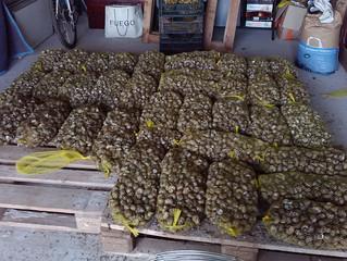 10000 escargots au séchage . Ils seront bien tôt près à être dégustés