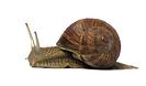 escargot droite sans fond.png
