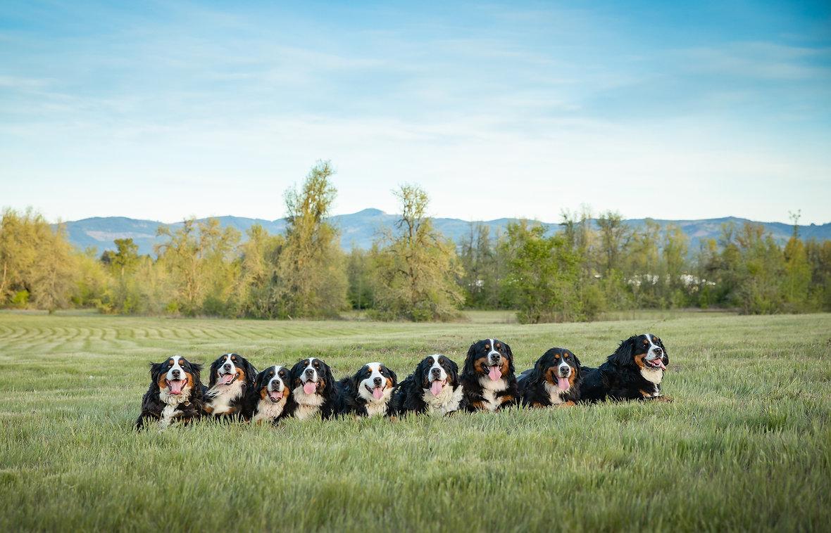 Bernese Mountain Dogs.jpg