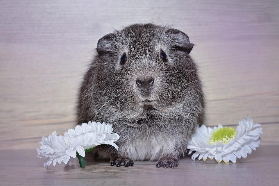 guinea-pig-1188647_960_720