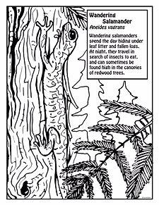 Wandering Salamander.JPG