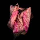 Australian Hibiscus-3