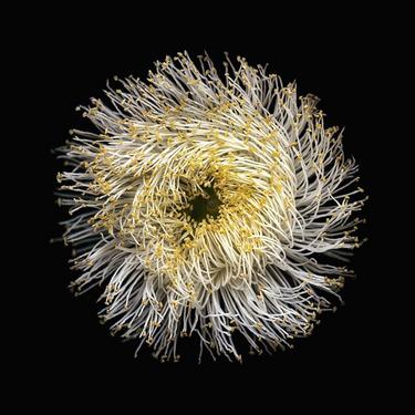 Sugar Gum Flower (Eucalyptus Cladocalyx)