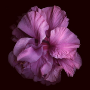 Australian Hibiscus-1