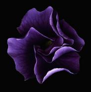 Australian Hibiscus-4