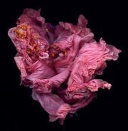Australian Hibiscus-Wilting