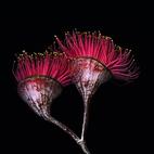 Silver Princess Gum Flowers (Eucalyptus Caesia)