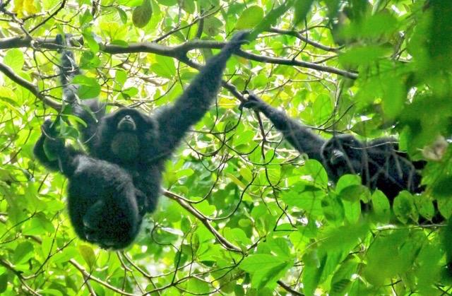 Siamang sleeping Trees
