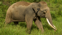 Supporting Sumatran elephants in the Leuser ecosystem, Indonesia
