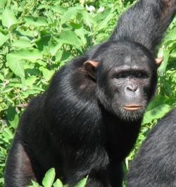 Savannah Chimpanzees Tanzania