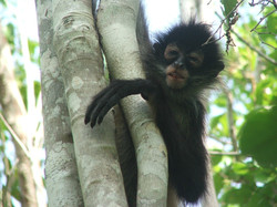 Mexican Spider Monkey