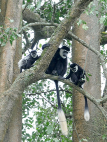 African monkey responses to climate change in 3 publications