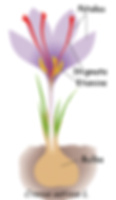 Description da la plante de safran crocus sativus