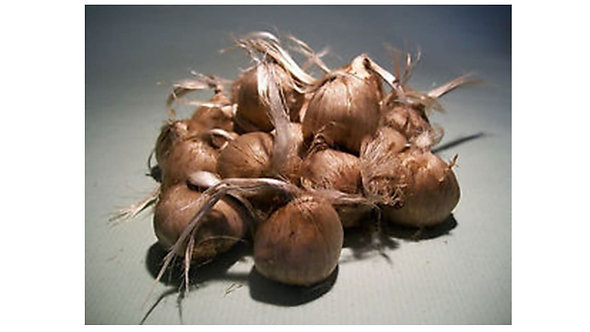 100 bulbes crocus sativus calibre 8-9