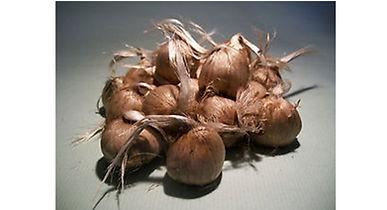 Crocus sativus non bio