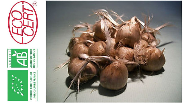 10 000 bulbes bio crocus sativus calibre 8-9