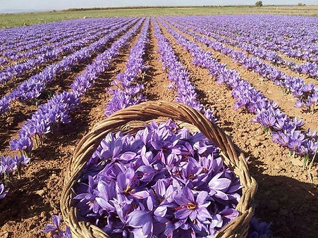 crocus-sativus-la-mancha.jpg